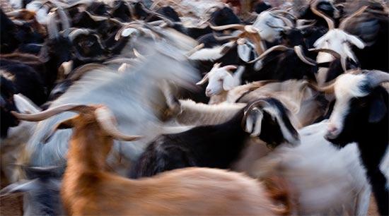 Goat milking frenzy!