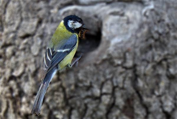 Nestin finches