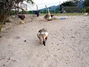 Ferocious geese!