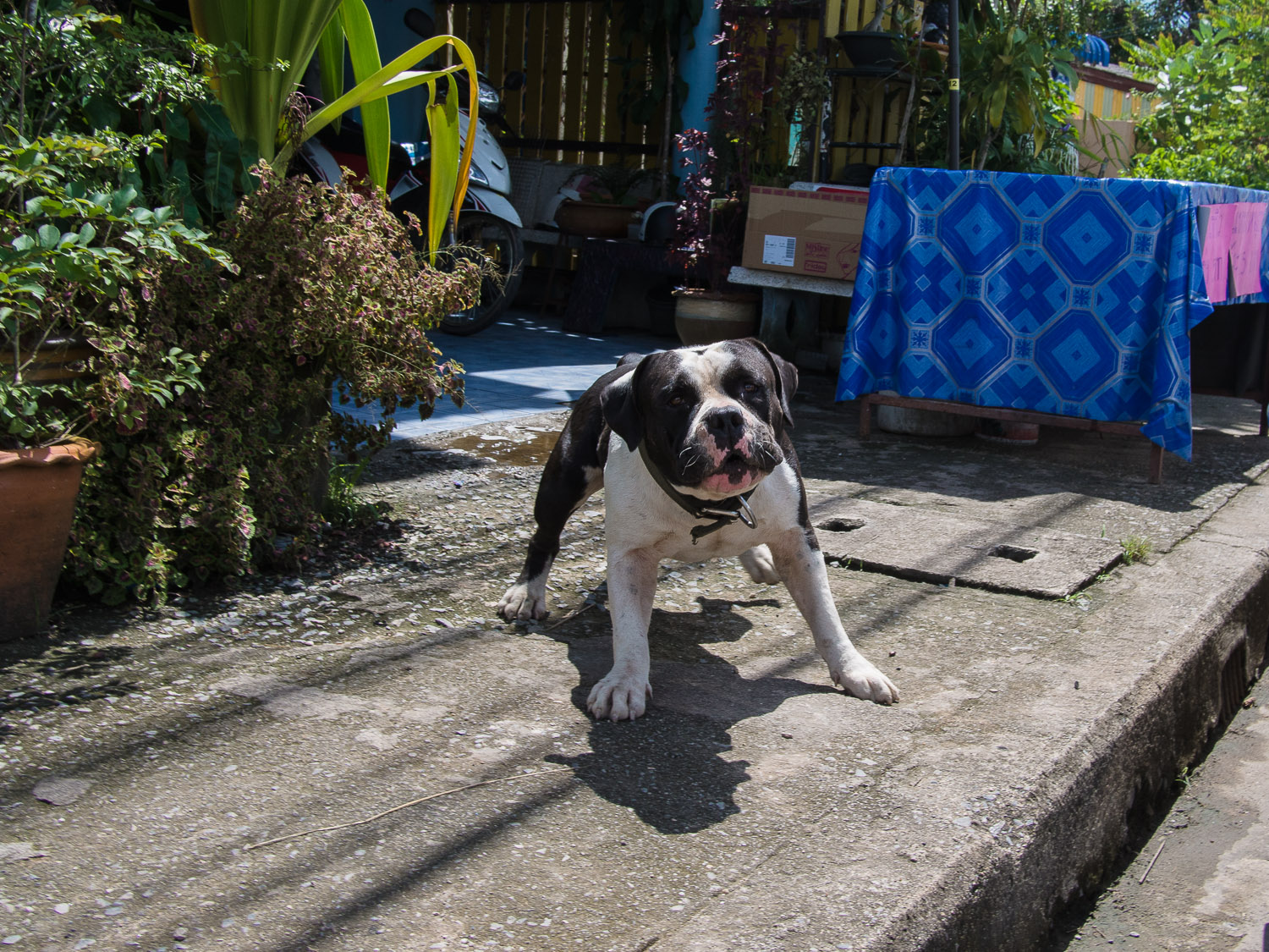 Dog in Satun, Thailand