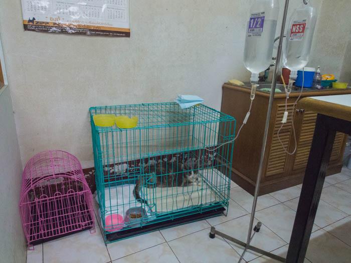 Millie the cat with hepatitis