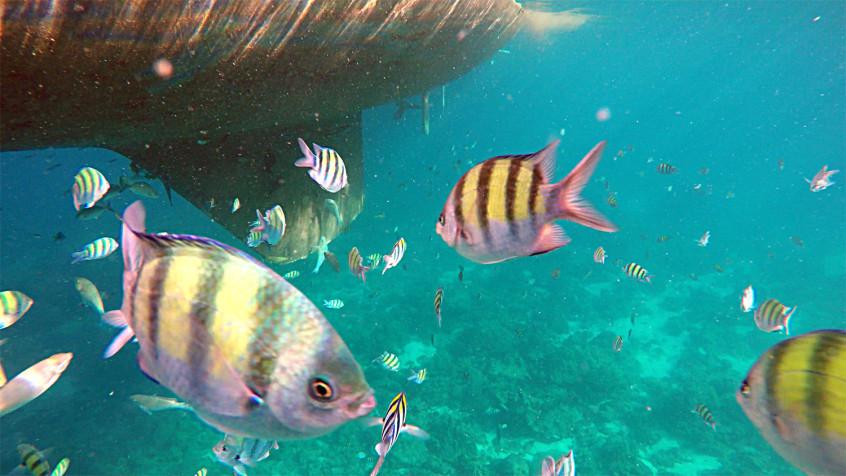 sergeant fish thailand phi phi